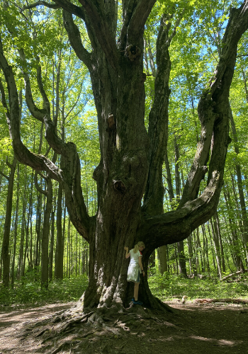 A tall tree called the Grandmother Tree in Asbury Woods, Erie Pa.