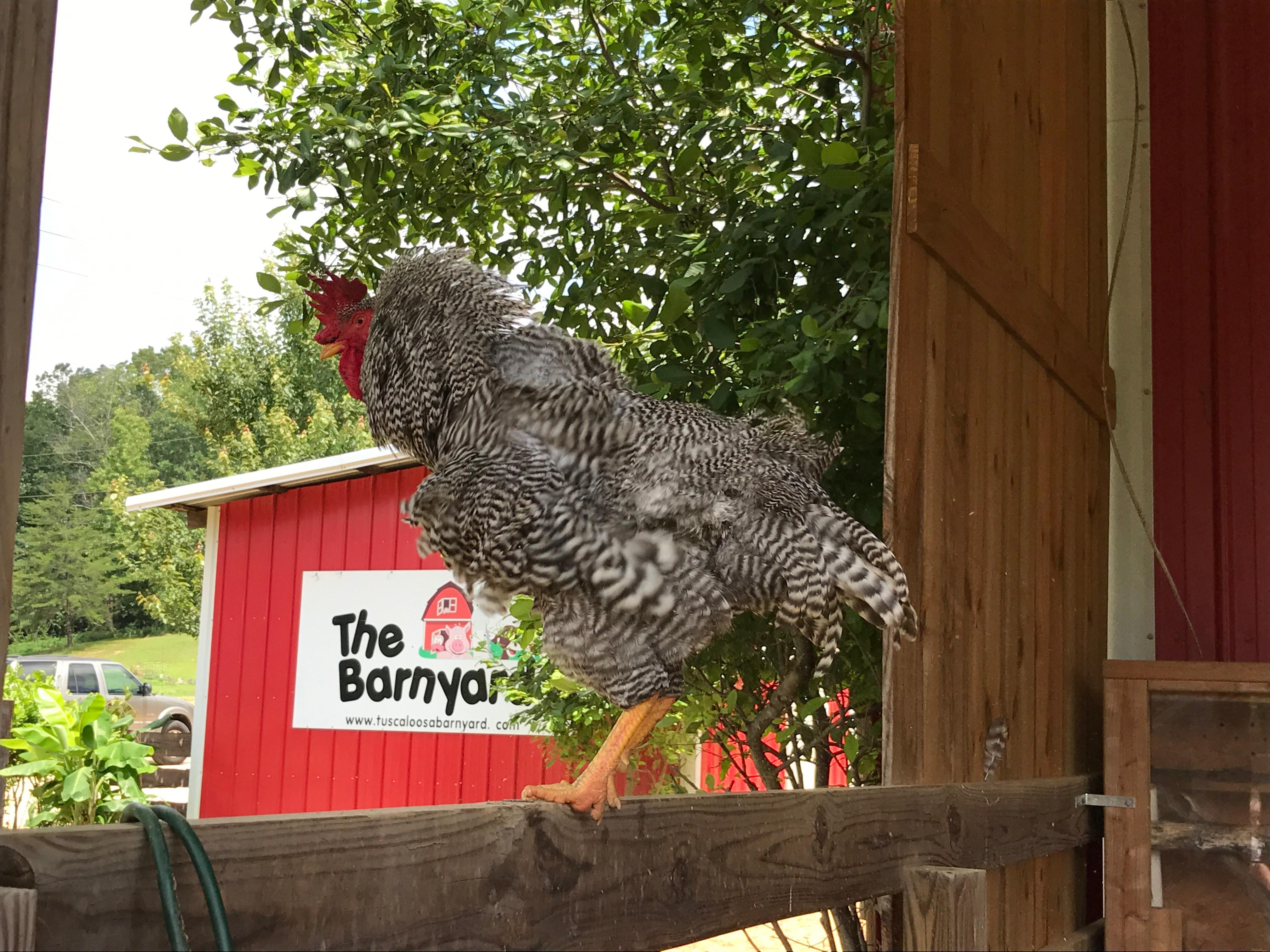 Party Animals at the Tuscaloosa Barnyard