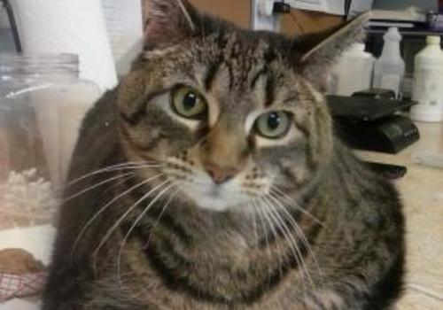 adoptable cat from the Center for Animal Health and Welfare, Easton PA Jan 2020