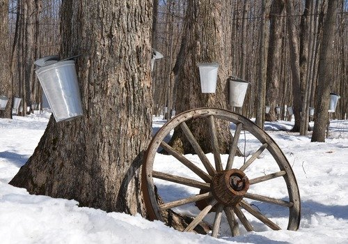 maple syrup taps and buckets on trees