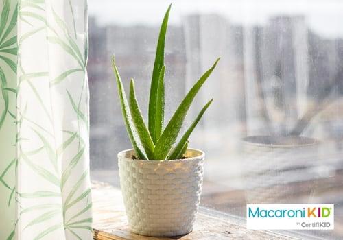 Aloe Vera House Plant on window sill