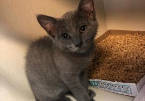 PA SPCA kitten adoption CAHW Easton