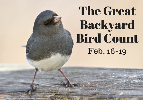 The Great Backyard Bird Count will take place February 16th- 19th, 2018