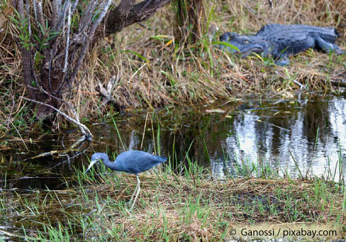 Swamp showing bird and alligator