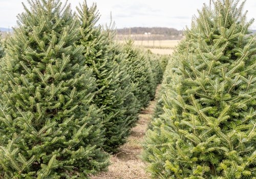 Cut Your own Christmas Tree near Bergen County
