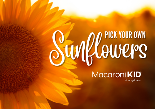 Pick your own sunflowers in youngstown and mahoning valley