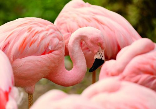 Flamingos at Lincoln Park Zoo in Chicago