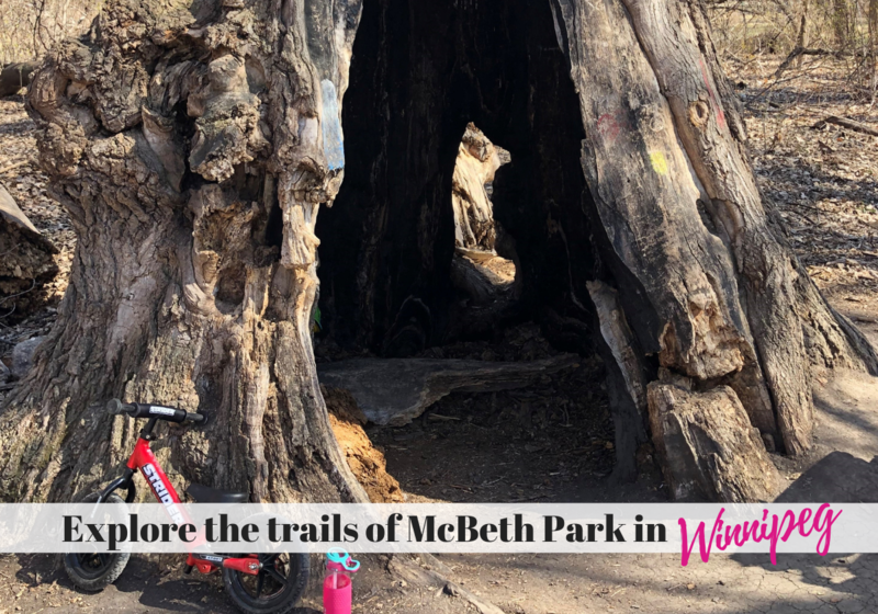 Large hollow cottonwood tree with child bike leaning against it