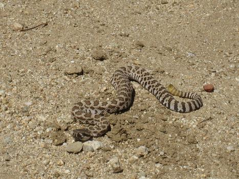 Baby Rattlesnake Camouflage