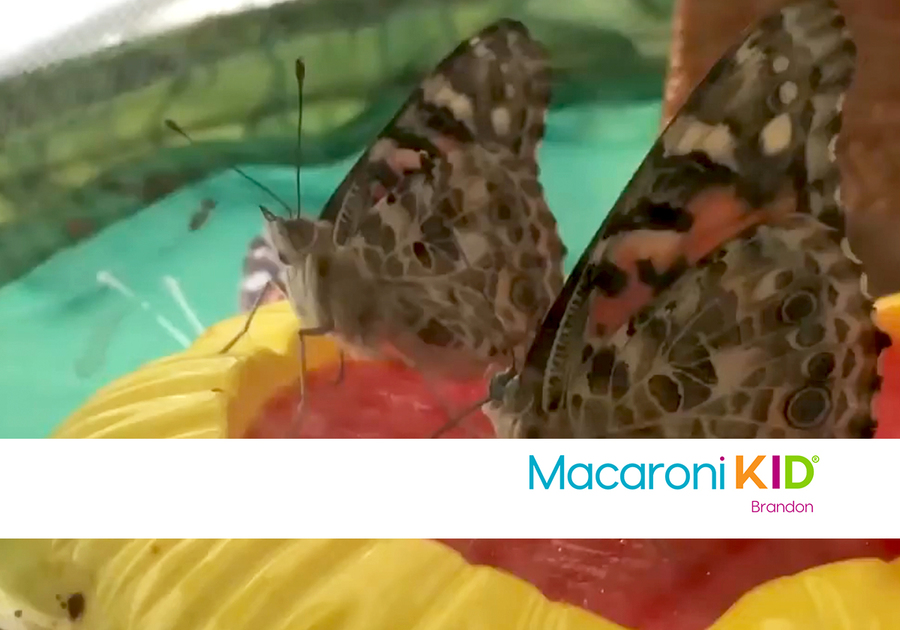 Two Painted Lady Butterflies